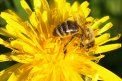 Fotografia: Working bee, fotograf: Martin Dámer, tagy: makro, včela, kvet, kvety