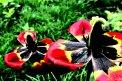 Fotografia: Tulipány, fotograf: Rastislav Jakubik, tagy: tulipány