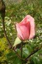 Fotografia: Ruža, fotograf: Mária Čatyová, tagy: ruža