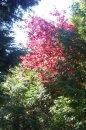 Fotografia: Červené listy stromu na Trenčianskom cintoríne, fotograf: Tomáš Zbořil, tagy: Červené lístie, Trenčiansky cintorín, pastva pre oči, harmonický pohľad.