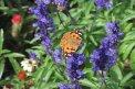 Fotografia: Motýľ si vychutnáva kvietok, fotograf: Juraj Belanji, tagy: Motýľ, farba, macro