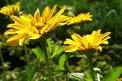 Fotografia: Slnko v kvetoch, fotograf: Martina Kukučková, tagy: kvety, zlta, zelena
