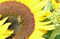Fotografia: Slnečnica, fotograf: Klára Kuncová, tagy: slnečnica, včielka, žltá farba