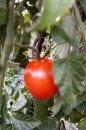 Fotografia: Paradajka, fotograf: Erik Schwarz, tagy: paradajka