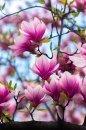 Fotografia: Magnólia, moja obľúbená, fotograf: Denis Goga, tagy: ľúbozvučné, magnolia, kvet, strom, tapeta, ružová, krása, medická zahrada