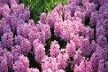 Fotografia: Hyacint, fotograf: Nikola Cenknerová, tagy: hyacint, pink, flowers