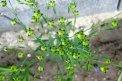 Fotografia: ľan, fotograf: Klaudia Tóthová, tagy: kvety, ľan