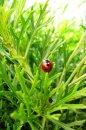 Fotografia: lienka v tráve, fotograf: Klaudia Tóthová, tagy: tráva, lienka, hmyz