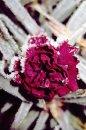 Fotografia: kvet v mraze, fotograf: Klaudia Tóthová, tagy: kvet, námraza