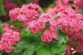 Fotografia: specialne vyslachteny hloh kvitnuci na ruzovo, fotograf: Alena Kovarova, tagy: ruzova, strom, kvet