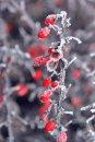 Fotografia: Som Kráska Zmrznutá. Teší ma., fotograf: Veronika Pilátová, tagy: krík, červená, bobula, mráz