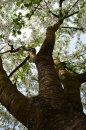 Fotografia: Pod višňou, fotograf: Klára Kuncová, tagy: strom, kvety, višňa