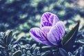 Fotografia: Šafrán Jarný, krásny kvet na fotenie..., fotograf: Denis Goga, tagy: kvet, šafrán