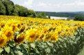 Fotografia: Slnečnicové pole za mestom., fotograf: Silvia Budayová, tagy: žltá, pole, slnko, slnečnica