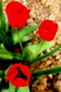 Fotografia: Tulipány v záhrade, fotograf: Silvia Budayová, tagy: tulipán, záhrada, červená