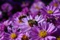 Fotografia: Včely sa prebúdzajú :), fotograf: Monika Richterová, tagy: Včela, Kvety, peľ, jar